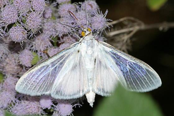 Satin White Palpita Moth - Palpita flegia