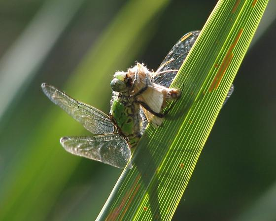 Eastern Pondhawk with prey (moth??) - Erythemis simplicicollis - female
