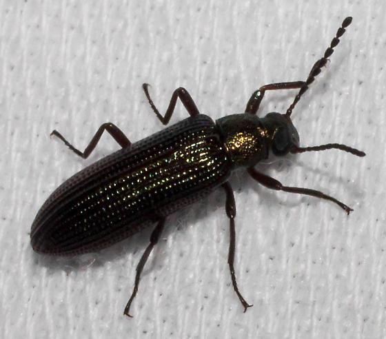 Glossy black darkling - Strongylium crenatum