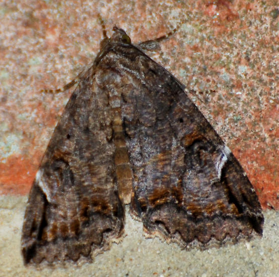 Brown with White - Euparthenos nubilis