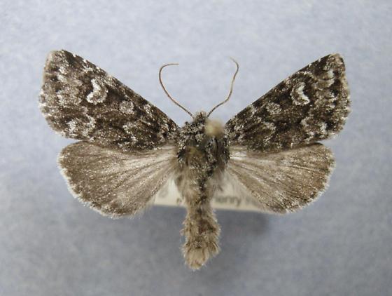 Lasionicta taigata - Lasionycta taigata
