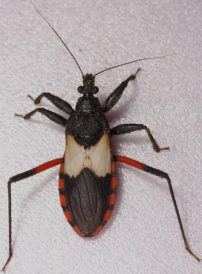 True Bug - Microtomus purcis