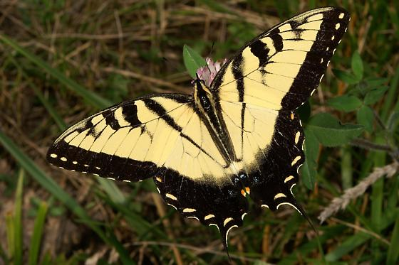 Eastern Tiger Swallowtail For Illinois In July - Papilio glaucus - male