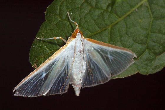 moth - Diaphania costata