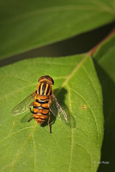 Syrphid Flies (Syrphidae) - Parhelophilus