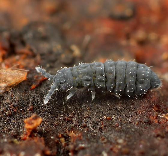 Collembola - Hypogastrura nivicola