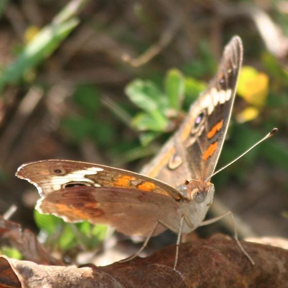 Buckeye Butterfly -  Anterior - Junonia coenia - male