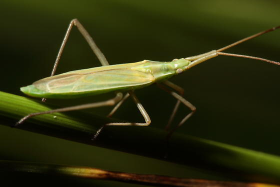 Bugs in the Grass - Megaloceroea recticornis
