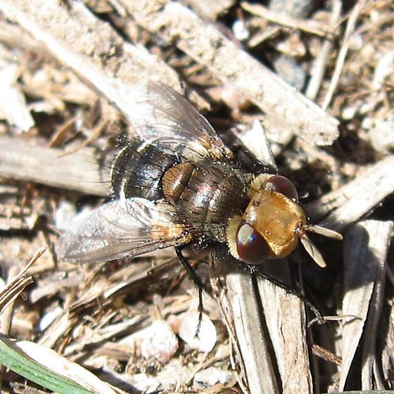 Tachinid Fly? - Gonia
