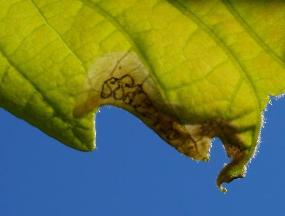 blotch mine on white oak - Japanagromyza viridula