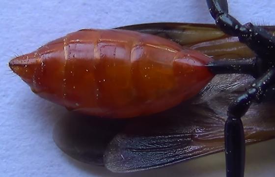 Thread-waisted Wasp Body Scan (ventral abdomen) - Sphex lucae - female