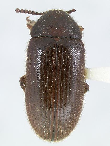 Knausia crassicornis - Madreallecula mcclevei