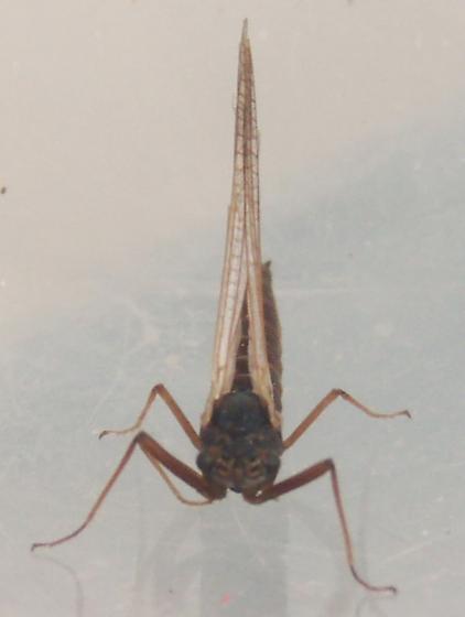 Mayfly #1 - Leptophlebia