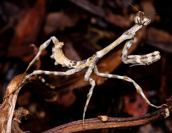 Arizona Unicorn Mantis? - Pseudovates arizonae