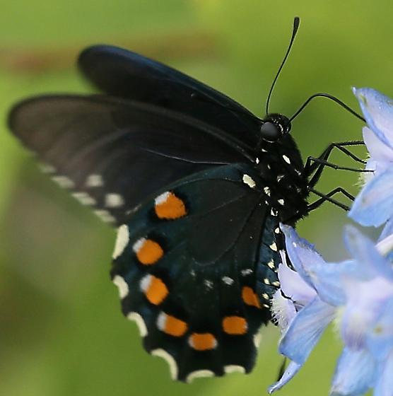 Black Butterfly - Battus philenor