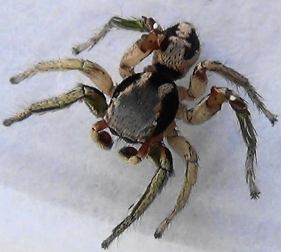 Green Legs & Red Face - Habronattus pyrrithrix - male