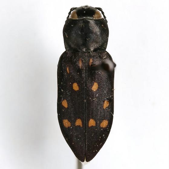 Melanophila consputa LeConte - Melanophila consputa