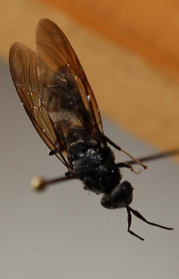 Bug 8  - Hermetia illucens