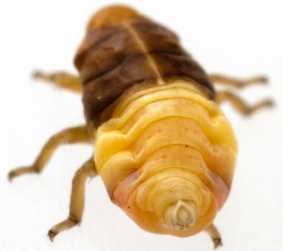 Nymph, Clastoptera juniperina?