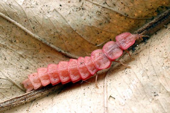 Microphotus - Microphotus angustus - female
