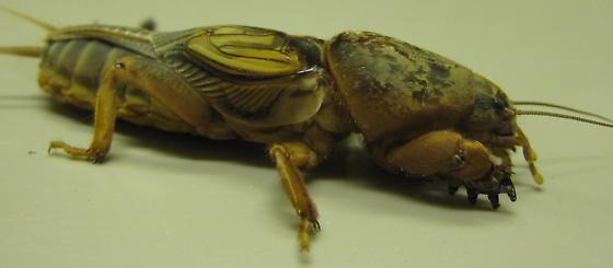 Gryllotalpa major - Prairie mole cricket - Gryllotalpa major - male