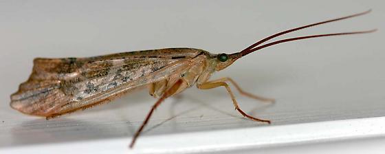 Northern Casemaker Caddisfly - Nemotaulius hostilis