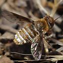 Lepidanthrax arnaudi - female