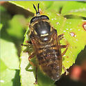 Syrphidae? - Sphecomyia occidentalis