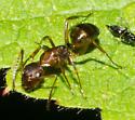 Brown and black ant - Camponotus subbarbatus