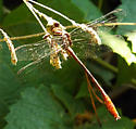 Russet-tipped Clubtail? - Stylurus plagiatus - male