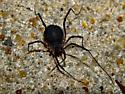 Harvestman ID - Eumesosoma roeweri