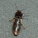 Click Beetle  - Selatosomus festivus