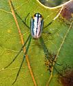 Orchard Orbweaver - Leucauge venusta - female