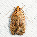Four-dotted Agonopterix  - Agonopterix robiniella