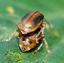Chrysomelidae - Neogalerucella calmariensis