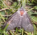 Poplar Carpenterworm Moth - Acossus centerensis - female