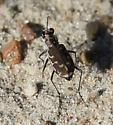 small winged insects patrolling sand at beach - Cicindela repanda