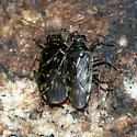 Shore Bugs - Pentacora ligata