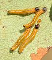 Sawflyh larvae - Neurotoma