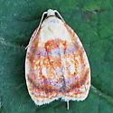An Acleris sp. - Acleris curvalana
