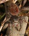 Salticidae - Phidippus princeps