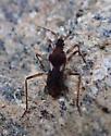 Insect - Macrovelia hornii