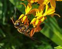 Wasps - Sphex ichneumoneus