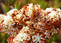 Paper Wasp on Buckwheat - Polistes dorsalis