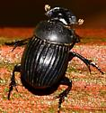 Dung Beetle? - Copris
