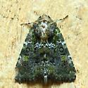 Possible Paramiana smaragdina Moth in Wellington, Ohio 2021-6-24 - Oligia chlorostigma