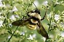 Bumble Bees - Genus Bombus - Bombus pensylvanicus
