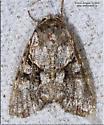Achatia distincta