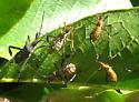 Instars of Leaf-footed Bug? - Leptoglossus
