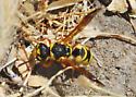 Which wasp? - Euodynerus